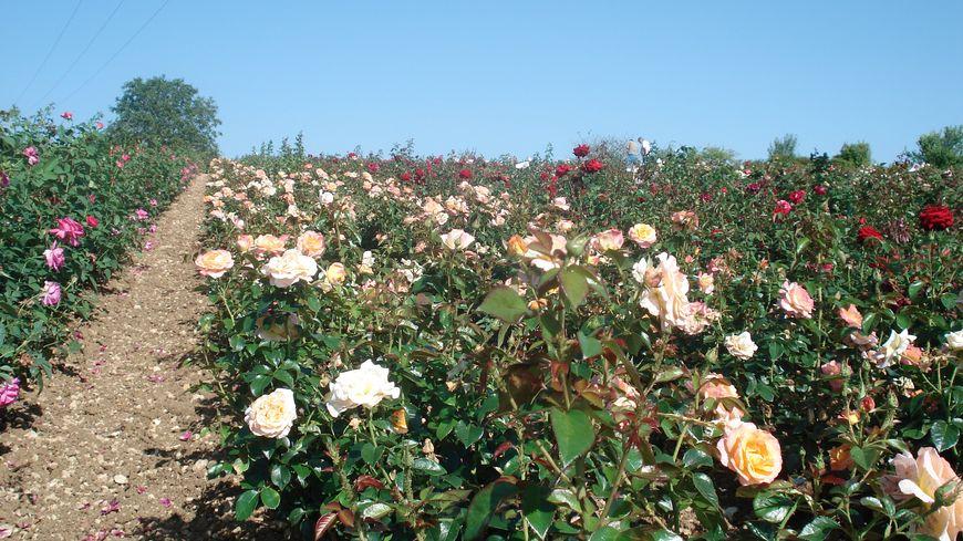 300 variétés de roses cultivées à Orgeux et Beire-le-Châtel
