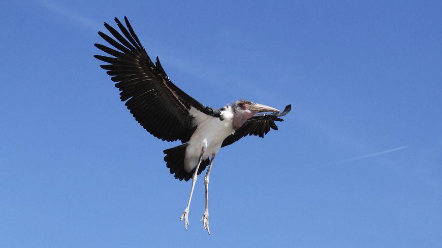 Le marabout est un oiseau migrateur originaire d'Afrique