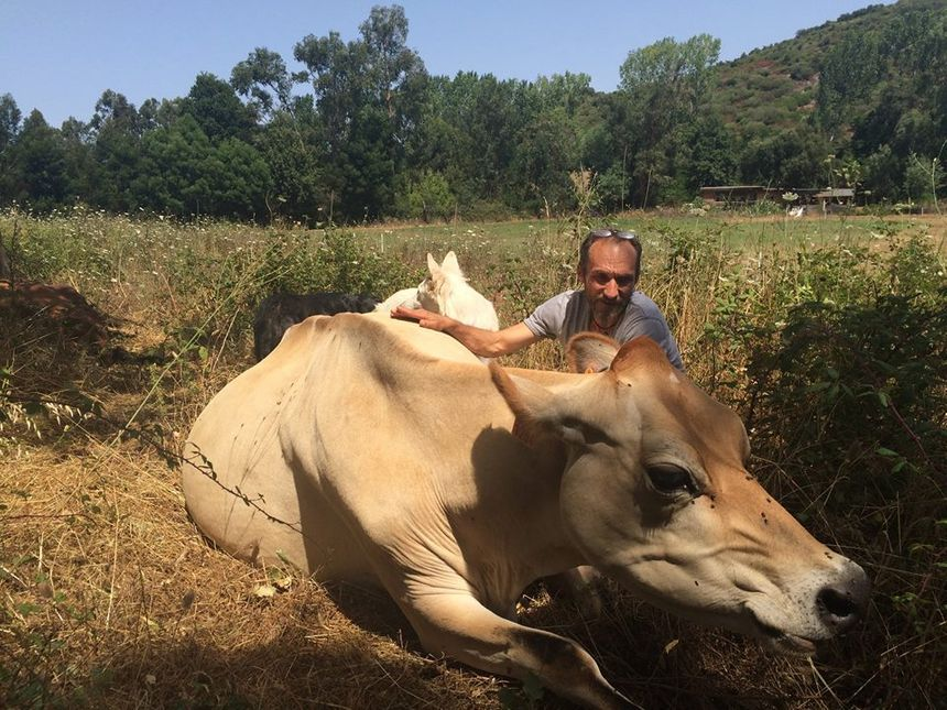 Philippe Wilson avec ses vaches jersiaises - Radio France