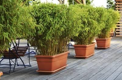 Set van 3 of 6 Fargesia Rufa bamboeplanten