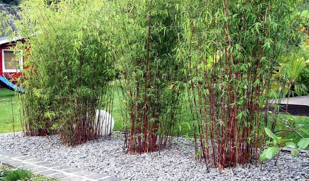 Set van 3 rode bamboe struiken