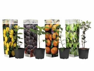 Set van 4 mediterrane fruitbomen hoogte ↕ 25 - 40 cm!