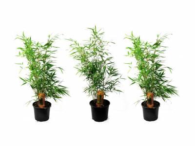 Set van 3 exclusieve rode bamboe struiken hoogte ↕ 25 - 40 cm!