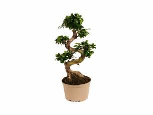 Japanse Bonsai boom met S-vormige stam hoogte ↕ 60 - 80 cm!