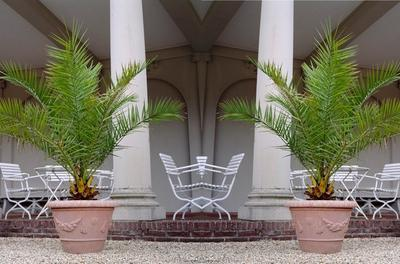 1 ou 2 palmiers des Canaries 'Phoenix Canariensis'