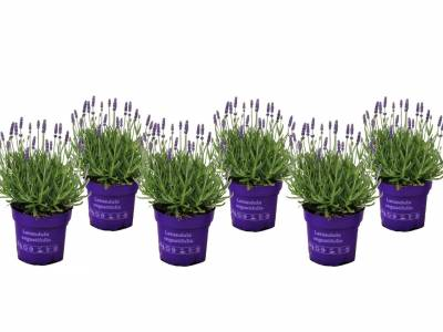 Set van 6 winterharde lavendel planten ↕ 10 - 15 cm!