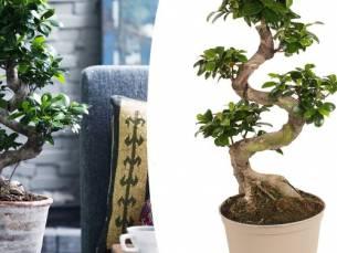 Japanse Bonsai-boom