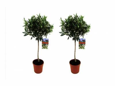 2olijfbomen op stam hoogte ↕ 90 - 100 cm!