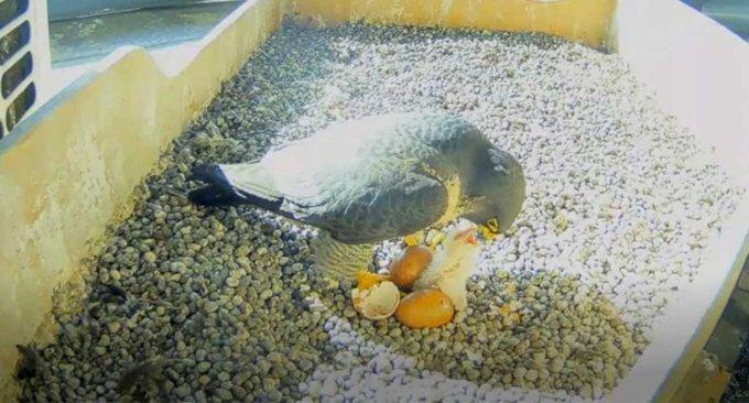 Si sono schiuse le uova dei falchi pellegrini che hanno for In diretta dalla camera