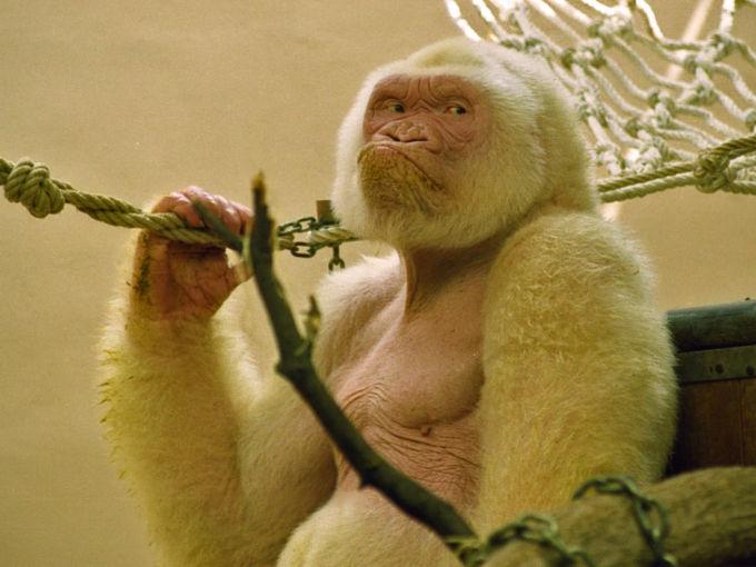 Il vero gorilla bianco