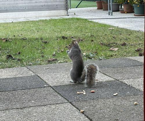 Uno scoiattolo si avvicina a un'abitazione in cerca di cibo