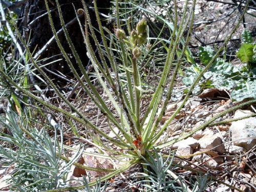 Un esemplare di Drosera Portoghese, la pianta carnivora fenice che nasce dove c'è stato un incendio