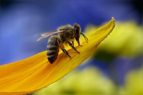 Un'ape da miele – via Pixabay
