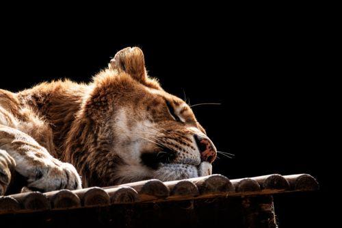 Se vuoi dormire come questo leone continua a leggere l'articolo