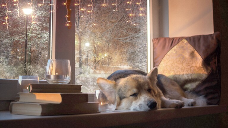 Dog Welsh Corgi Pembroke on the background of festive New Year's lights. The garlands are blinking, the feeling of a holiday. The dog wishes everyone a Happy New Year and Merry Christmas!