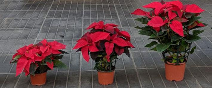 Poinsettia Christmas Flower Plant   Gosawa Beirut Deal ffd85e31f821