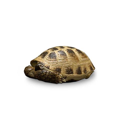 Square Alvin Turtle 2