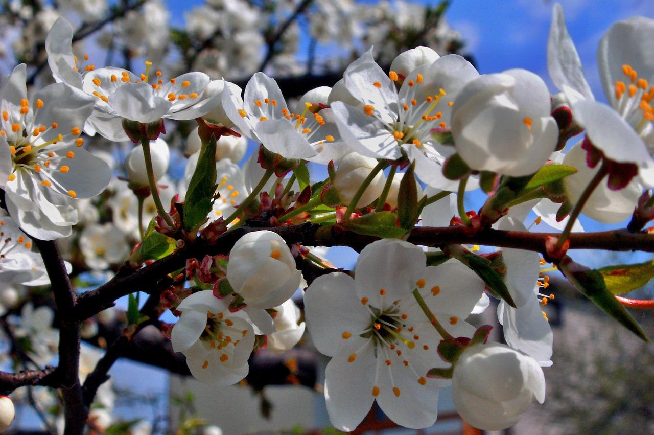 Engvang kirsebærblomster.jpg