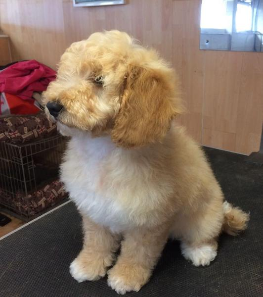 beautifull f1b cockapoo boys in Doncaster | DogsandPuppies co uk