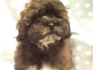 Poodle Puppies For Sale Dogsandpuppiescouk