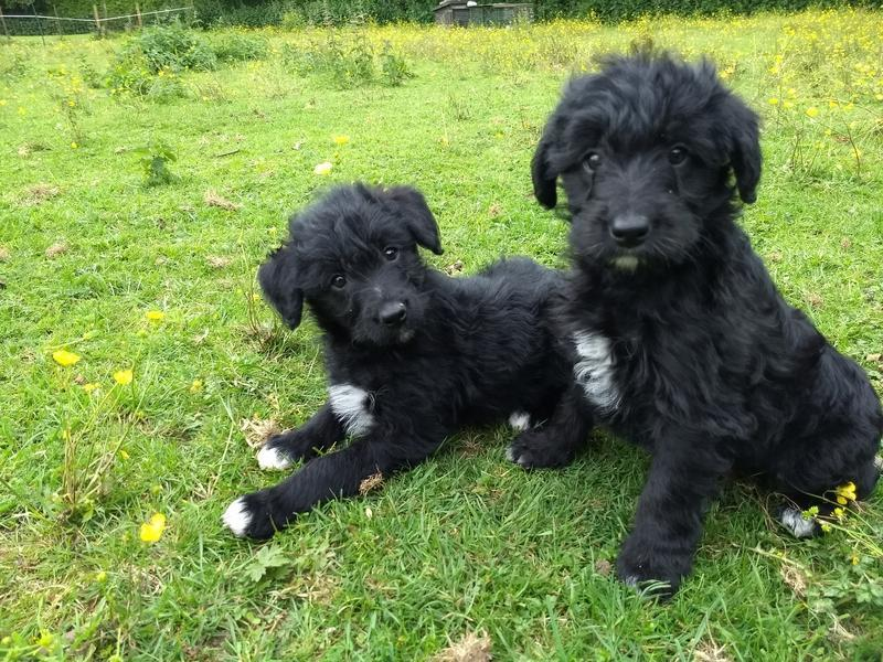 COLLIEPOO/COLLIEDOODLE PUPPIES F1 in Shrewsbury   DogsandPuppies co uk