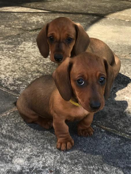 Miniature Dachshund Puppies For Sale In Hove Dogsandpuppies Co