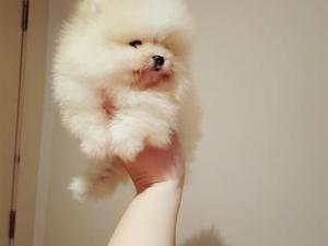 Joy To Wach Absolutely Stunning Black Tiny Pomeranian Puppies In