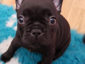 Female Bulldog Puppies For Sale Dogsandpuppies Co Uk