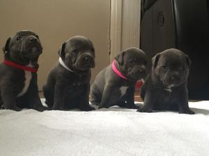 Blue Staffy For Sale : Staffordshire bull terrier puppies for sale in south west