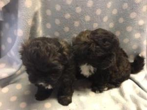 Shih Tzu Puppies For Sale Dogsandpuppiescouk