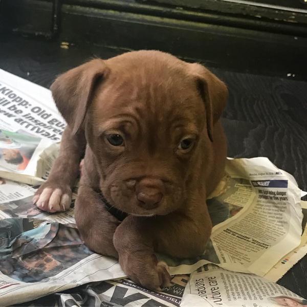 Staffy Cross Puppies For Sale Boys In London Dogsandpuppies Co Uk