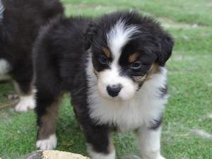 Australian Shepherd Puppies for sale | DogsandPuppies co uk