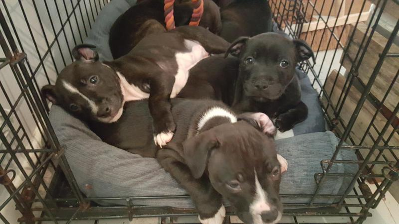 Blue Staffy For Sale : Blue and white staffy puppies for sale in bridgend