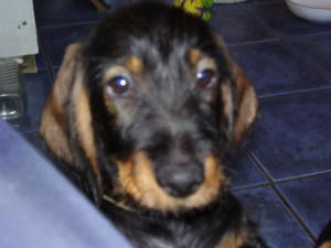 Dachshund Puppies for sale | DogsandPuppies co uk