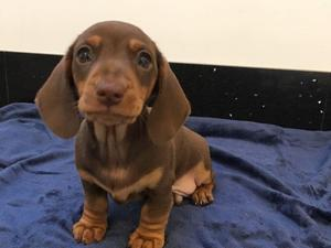 Dachshund Puppies For Sale Dogsandpuppiescouk