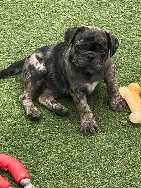 Merle Frug Girl Puppies Pug French Bulldog Absolutely Stunning