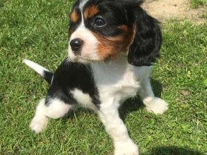 Cavalier King Charles Spaniel Puppies For Sale Dogsandpuppiescouk