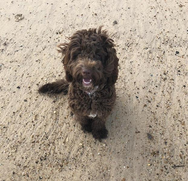1 year old chocolate brown female cockapoo for sale in Peterborough