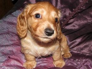 Dachshund Puppies for sale | DogsandPuppies co uk