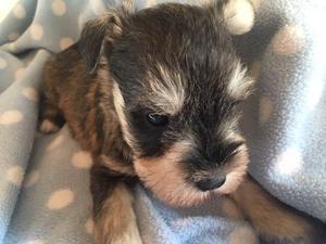 Schnauzer Puppies For Sale Dogsandpuppiescouk