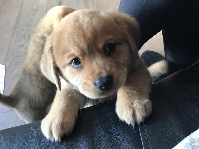 Beagle cross Chow Chow puppies in