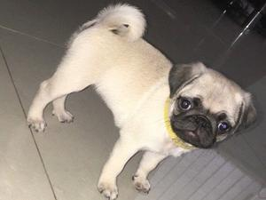 Pug Puppies For Sale Dogsandpuppiescouk