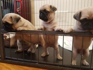 Pug Puppies For Sale In Scotland Dogsandpuppiescouk