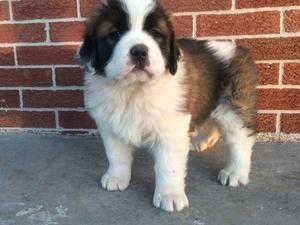 Saint Bernard Puppies For Sale Dogsandpuppiescouk