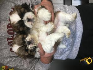 Black Brown And White Shih Tzu Puppies For Sale In Wigan