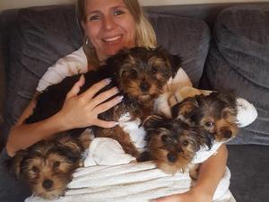 Yorkshire Terrier Puppies For Sale Dogsandpuppiescouk