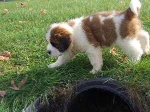 Saint Bernard Puppies for sale | DogsandPuppies co uk