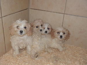 Cavachon Puppies for sale in Oldbury | DogsandPuppies co uk