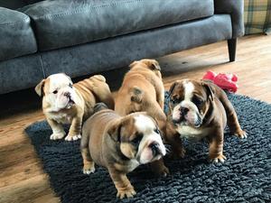 Bulldog Puppies For Sale Dogsandpuppies Co Uk