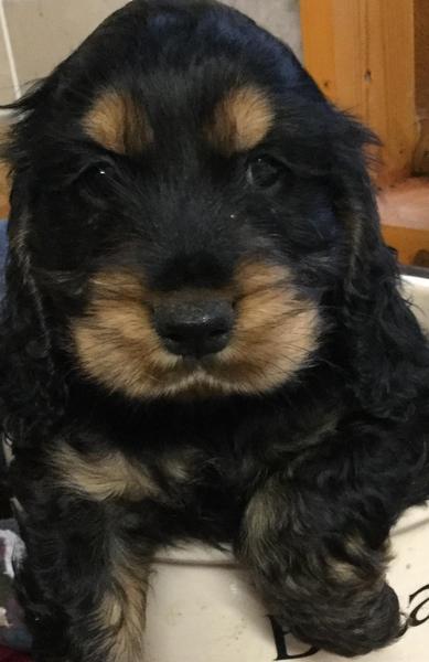 Cockapoo Puppies Black and Tan in Canterbury ...